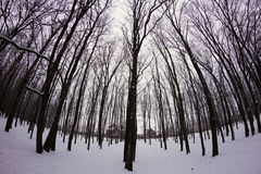 Winter snowy forest Royalty Free Stock Images