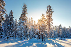 Winter Snowy Forest and Sunlight Stock Photography