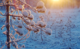 Winter snowy forest at sunset. Royalty Free Stock Image