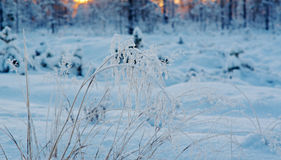 Winter snowy forest at sunset. Stock Photo