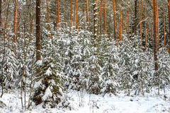 Winter snowy forest Stock Photos