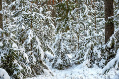 Winter Snowy Forest Stock Images