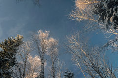 Winter snowy forest under the blue sky Royalty Free Stock Photography