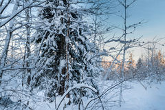 Winter snowy forest under the blue sky Stock Image