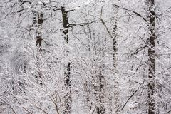 Winter snowy forest wall flat white background. Winter snowy forest wall flat background royalty free stock photo