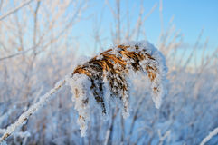 Winter snowy landscape with frozen plant Royalty Free Stock Images