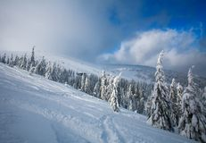 Winter snowy landscape in mountains of spruce forest nature Royalty Free Stock Photo