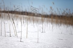 Winter snowy meadow. Snowy meadow with small plants Stock Photography