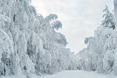 Winter snowy road with snow-covered trees in forest, overcast royalty free stock photography