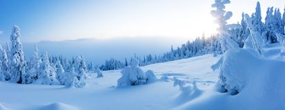 Winter snowy spruce tree forest panoramic view. High resolution image stock photos