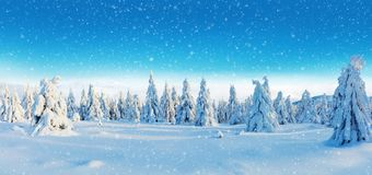 Winter snowy spruce tree forest panoramic view. High resolution image royalty free stock images