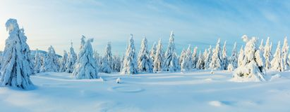Winter snowy spruce tree forest panoramic view. High resolution image stock images
