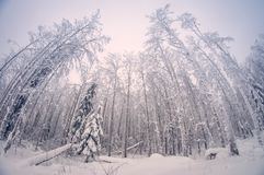 Winter snowy tall trees in the forest, when the snow would fall, fish eye distortion royalty free stock photography