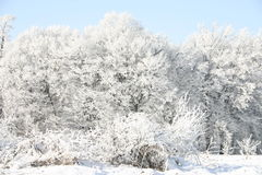 Winter snowy trees. Winter forest covered with white frost, blue sky Royalty Free Stock Photo