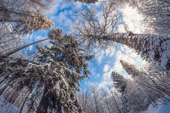 Winter snowy trees in the blue sky Bottom view on a frosty sunny day stock photos
