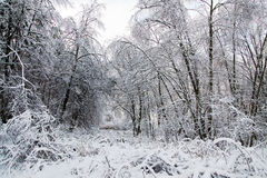 Winter snowy trees landscape Royalty Free Stock Images