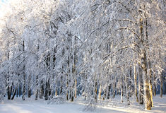 Winter snowy trees in sunlight Stock Photos
