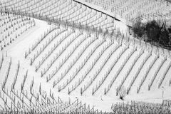 Winter snowy vineyards. Black and white photo. Geometrical view of the snowy vineyards of the hilly region of Langhe in the southern area of Piemonte Region royalty free stock photo