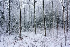Winter snowy wood landscape Royalty Free Stock Images