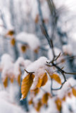 Winter soft. Frost and soft snow on plants at a cold winter day Royalty Free Stock Image