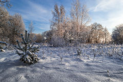 Winter solar day in wood Royalty Free Stock Photo