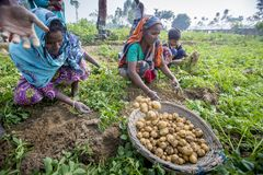 In winter some Local farmers are on potato harvesting field in Thakurgong, Bangladesh. The potato ranks first among the world`s most important food crops. In Royalty Free Stock Photography