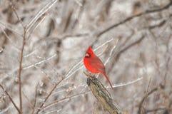 Winter Song Bird Stock Photography