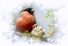 Winter song bullfinch birds and finches. Winter song bullfinch birds and finches on a branch with snowflakes Royalty Free Stock Images