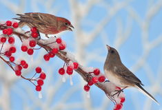 Winter Songbirds Royalty Free Stock Image