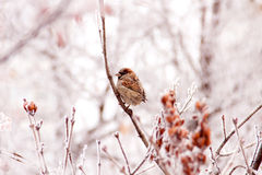 Winter sparrow royalty free stock photo