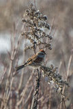Winter sparrow Royalty Free Stock Images