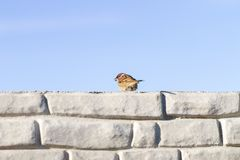 Winter sparrow with seed sitting on the wall. Winter sparrow with seed sitting on the brick wall Royalty Free Stock Photos