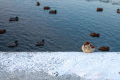 Winter Sparrow. Sitting on a background of floating ducks Stock Image