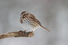 Winter Sparrow. A song sparrow (Melospiza melodia) perching on a branch in winter Stock Images
