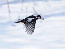 Winter-Specht-Flug mit einem Startwert für Zufallsgenerator Lizenzfreie Stockbilder