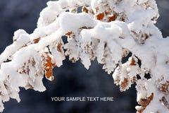 Winter sprig Stock Photo