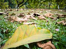 The falling leaves on the lawn in spring. In winter and spring the falling leaves on the lawn.it is a special season.the withered leaves and green trees grass stock images