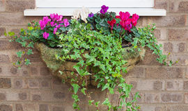 Winter and spring flowering hanging basket with trailing ivy cyc Stock Images
