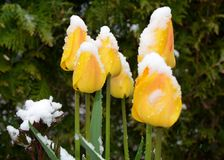Winter in spring. Flowers in snow when winter coming in spring and it was the second day of Easters Royalty Free Stock Images