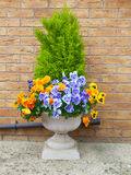 Winter and spring pansies and evergreen shrub in c. Ontainer with brick wall background Royalty Free Stock Photos