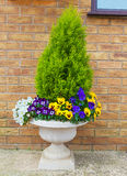 Winter and spring pansies and evergreen shrub in container Royalty Free Stock Image