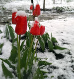 Winter into spring and tulips blooming. Stock Photos