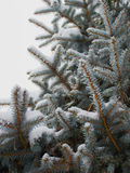 Winter spruce Royalty Free Stock Photography