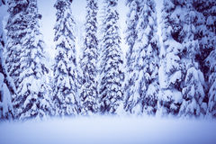Winter spruce. A cold scene in winter of snow covered spruce trees Stock Images