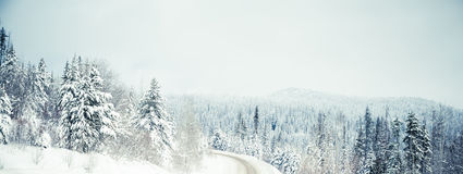 Winter spruce. A cold scene in winter of snow covered spruce trees Royalty Free Stock Image