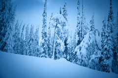 Winter spruce. A cold scene in winter of snow covered spruce trees Stock Image