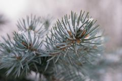 Spruce branch snow winter close-up macro bokeh background outdoor. Winter spruce branch snow texture abstract stock photography