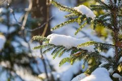 Winter spruce branch under snow in good light Royalty Free Stock Photography