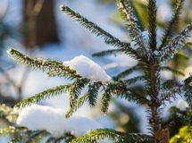 Winter spruce branch under snow in good light Royalty Free Stock Photo
