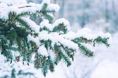 Winter spruce branch under white snow. Winter fir branch under white fluffy snow stock photos